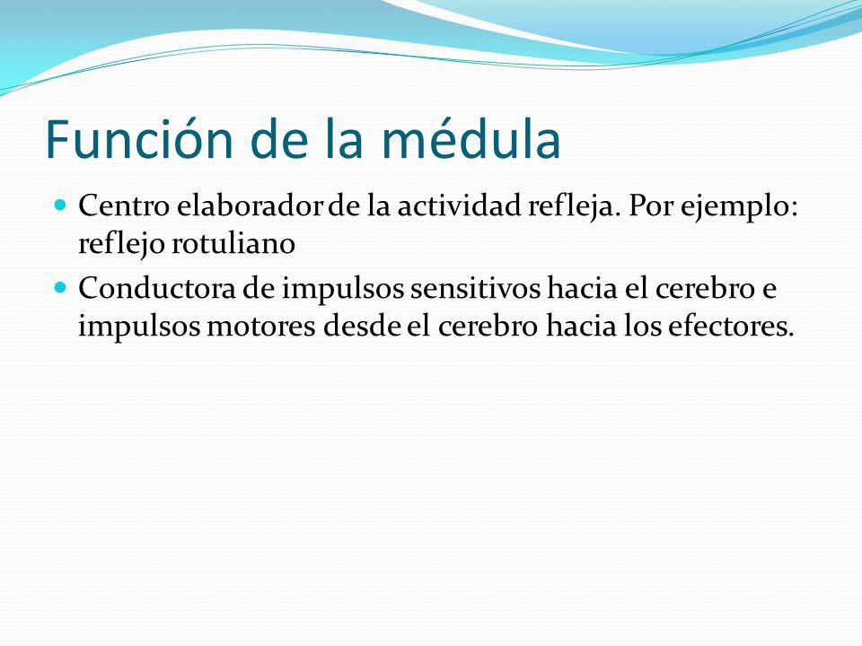 Función de la médula Centro elaborador de la actividad refleja. Por ejemplo: reflejo rotuliano Conductora de impulsos sensitivos hacia el cerebro e im