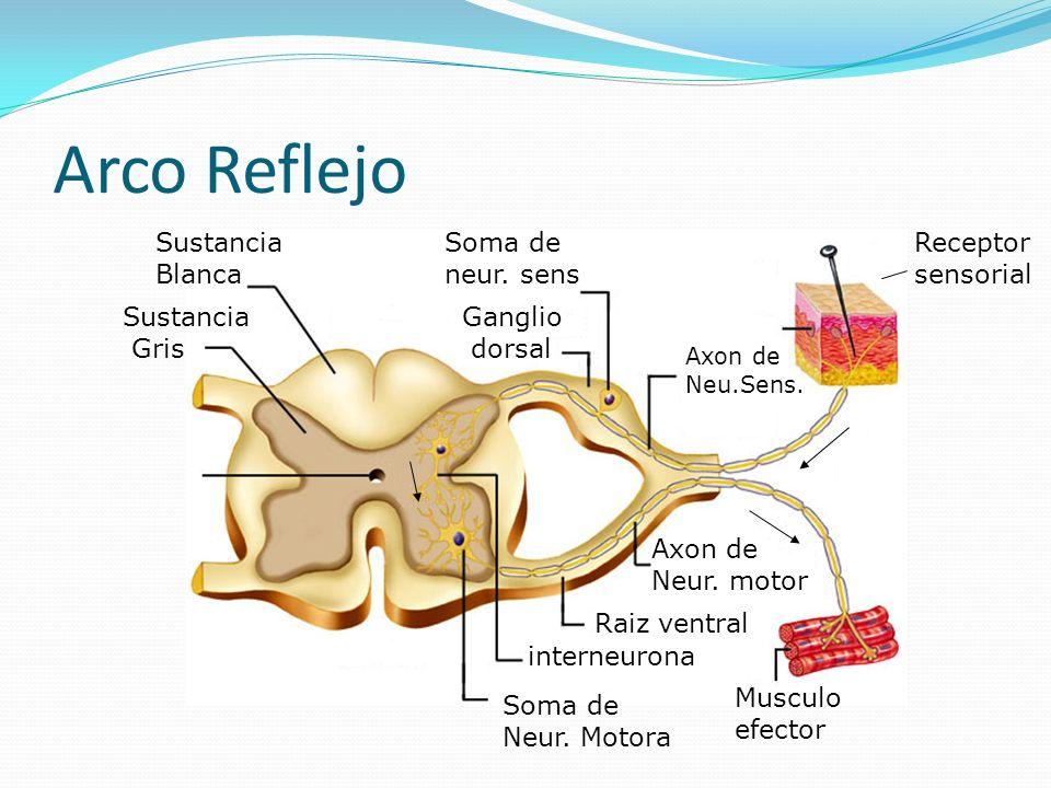 Arco Reflejo Receptor sensorial Axon de Neu.Sens. Soma de neur. sens Ganglio dorsal interneurona Soma de Neur. Motora Raiz ventral Axon de Neur. motor