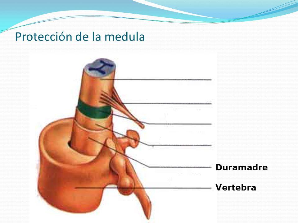 Protección de la medula Vertebra Duramadre Aracnoides