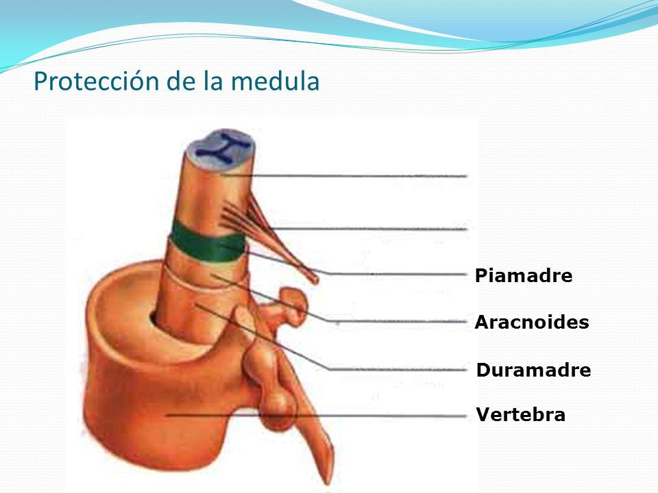 Protección de la medula Vertebra Duramadre Aracnoides Piamadre Nervio Espinal