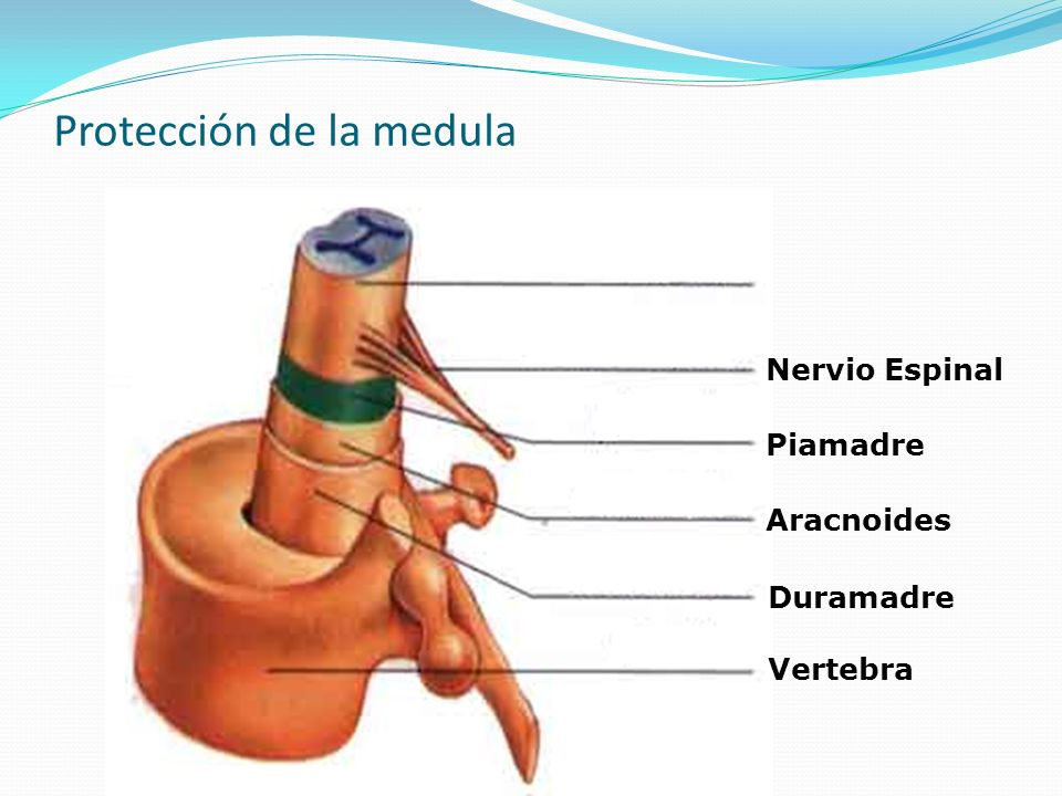 Protección de la medula Vertebra Duramadre Aracnoides Piamadre Nervio Espinal Medula