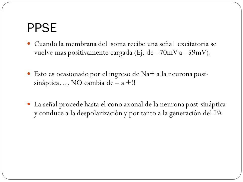 PPSE Cuando la membrana del soma recibe una señal excitatoria se vuelve mas positivamente cargada (Ej.