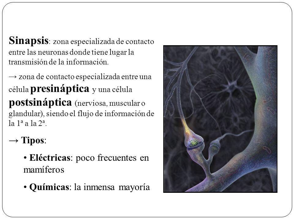 Potencial Post-sináptico (PPS) PPS desencadenado por unión de NT a receptores de la membrana post-sináptica NT: pépticos amino ácidos catecolaminas en la neurona post-sináptica NT ocasionan: inhibición (IPPS) excitación (EPPS)