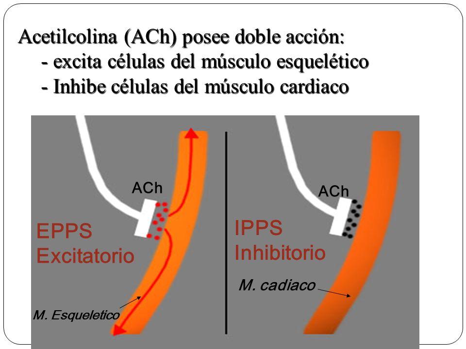 ACh IPPS Inhibitorio EPPS Excitatorio M.cadiaco M.
