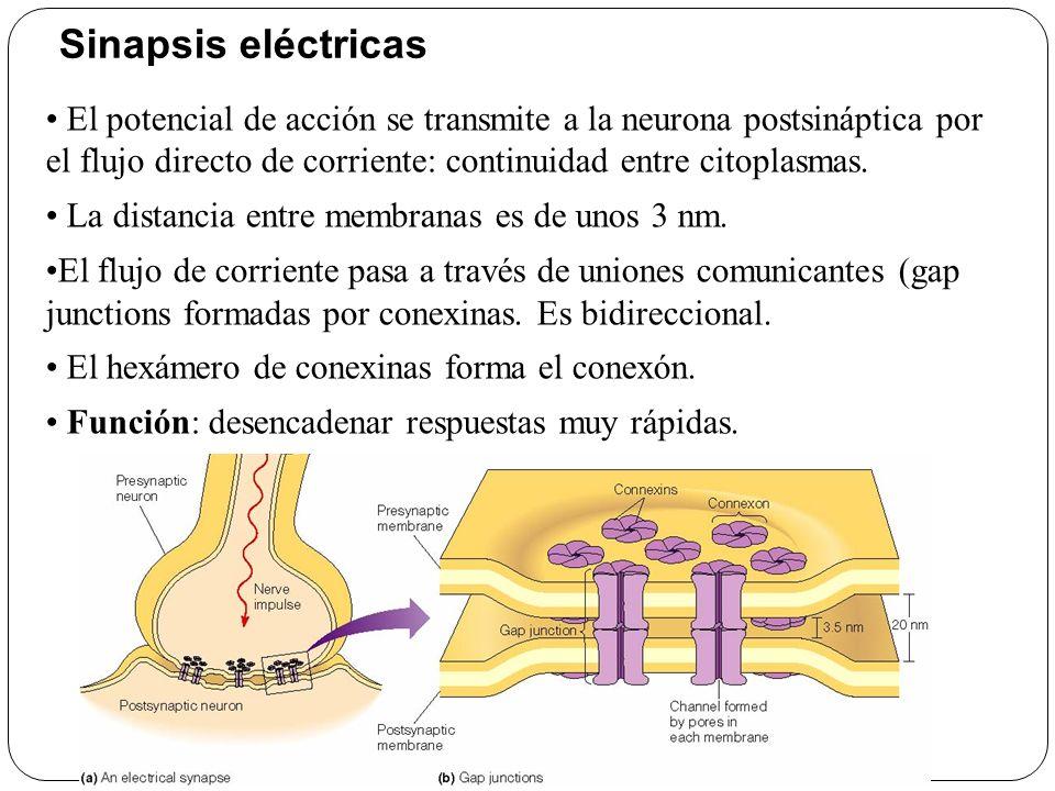 Sinapsis eléctricas El potencial de acción se transmite a la neurona postsináptica por el flujo directo de corriente: continuidad entre citoplasmas.