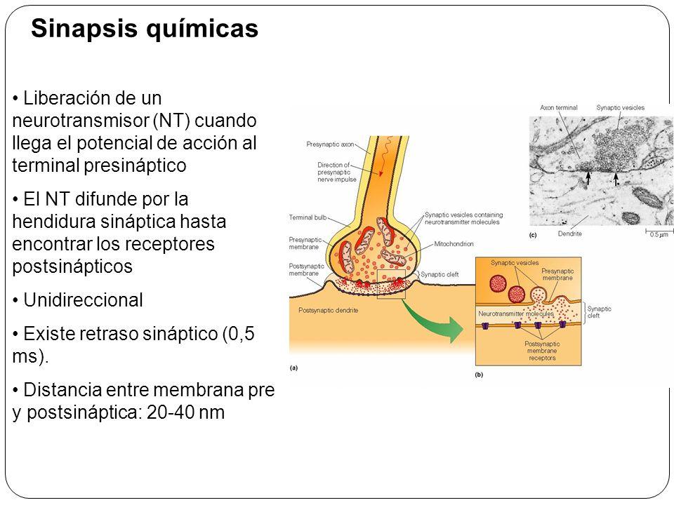 Liberación del NT: 1.Llega el potencial de acción a la terminación presináptica.