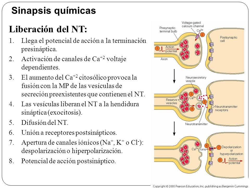 El NT se debe unir a proteínas receptoras específicas en la membrana postsináptica.