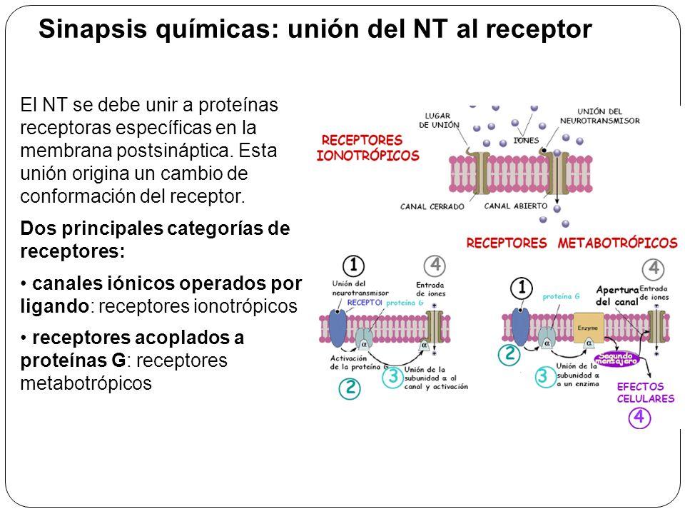 Los receptores median los cambios en el potencial de membrana de acuerdo con: – La cantidad de NT liberado – El tiempo que el NT esté unido a su receptor Existen dos tipos de potenciales postsinápticos: PEPS – potencial excitatorio postsináptico: despolarización transitoria (apertura de canales Na + ).