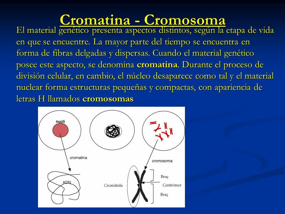 Centrómero: es el sitio en donde las cromátidas hermanas se unen durante la división celular.