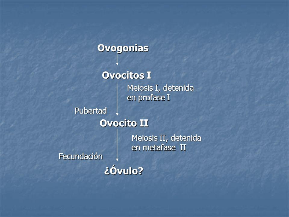 Ovogonias Ovocitos I Meiosis I, detenida en profase I Ovocito II Pubertad Meiosis II, detenida en metafase II Fecundación ¿Óvulo?