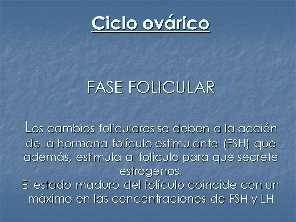 Ciclo ovárico FASE FOLICULAR L os cambios foliculares se deben a la acción de la hormona folículo estimulante (FSH) que además, estimula al folículo p