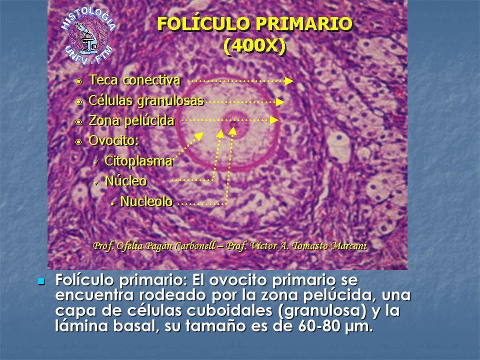 Folículo primario: El ovocito primario se encuentra rodeado por la zona pelúcida, una capa de células cuboidales (granulosa) y la lámina basal, su tam