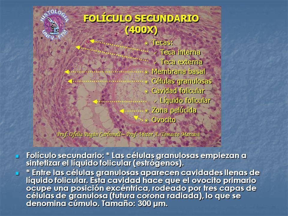 Folículo secundario: * Las células granulosas empiezan a sintetizar el líquido folicular (estrógenos). Folículo secundario: * Las células granulosas e