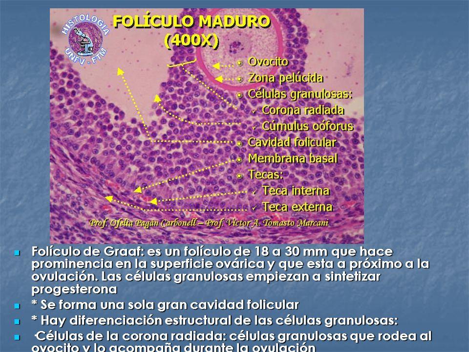 Folículo de Graaf: es un folículo de 18 a 30 mm que hace prominencia en la superficie ovárica y que esta a próximo a la ovulación. Las células granulo