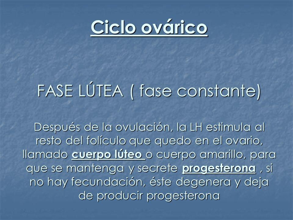 Ciclo ovárico FASE LÚTEA ( fase constante) Después de la ovulación, la LH estimula al resto del folículo que quedo en el ovario, llamado cuerpo lúteo