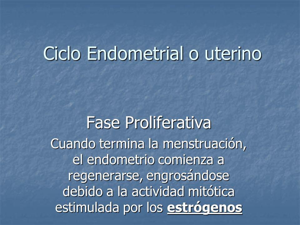 Ciclo Endometrial o uterino Fase Proliferativa Cuando termina la menstruación, el endometrio comienza a regenerarse, engrosándose debido a la activida