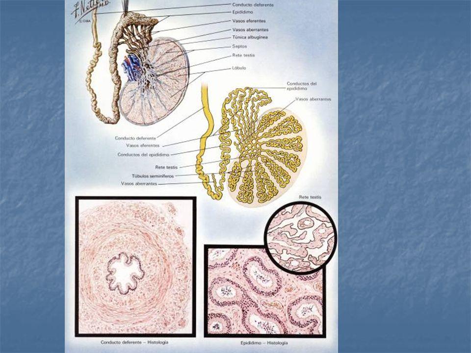 Folículo de Graaf: es un folículo de 18 a 30 mm que hace prominencia en la superficie ovárica y que esta a próximo a la ovulación.