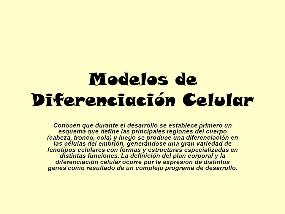 Modelos de Diferenciación Celular Conocen que durante el desarrollo se establece primero un esquema que define las principales regiones del cuerpo (ca