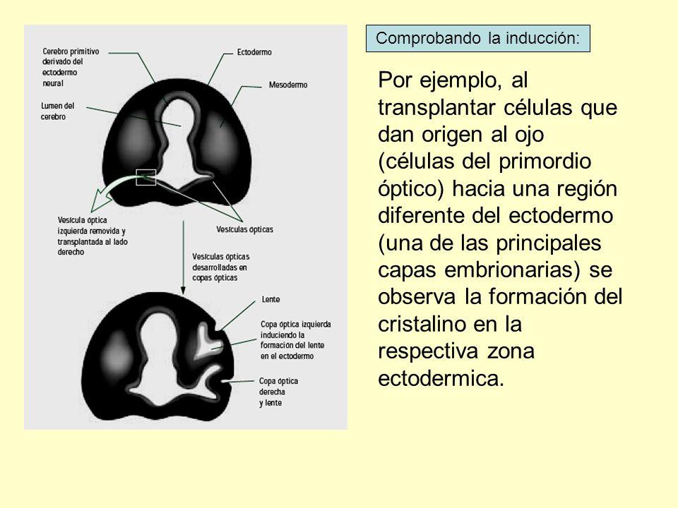 Por ejemplo, al transplantar células que dan origen al ojo (células del primordio óptico) hacia una región diferente del ectodermo (una de las princip