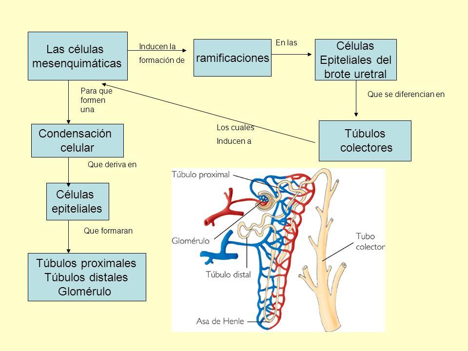 Las células mesenquimáticas Inducen la formación de ramificaciones Células Epiteliales del brote uretral En las Que se diferencian en Túbulos colector