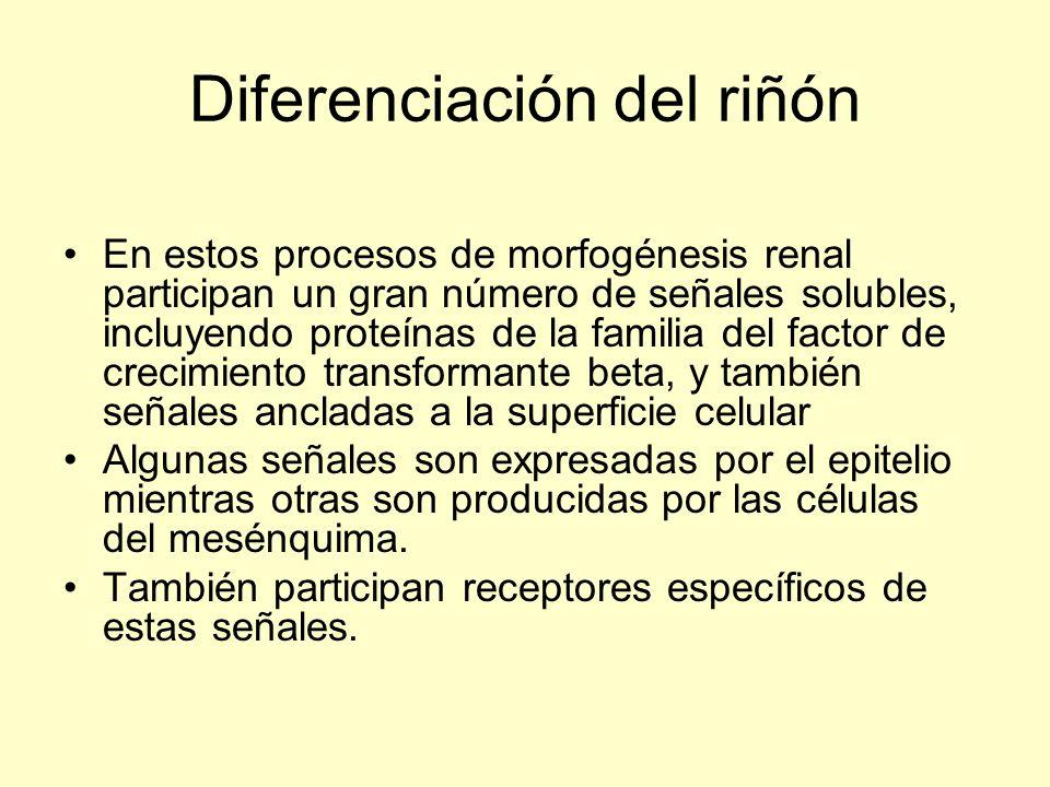 Diferenciación del riñón En estos procesos de morfogénesis renal participan un gran número de señales solubles, incluyendo proteínas de la familia del