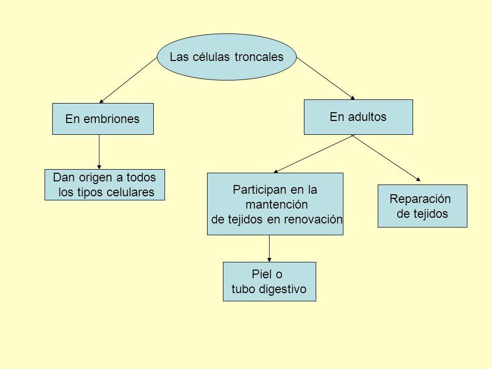 Las células troncales En embriones En adultos Dan origen a todos los tipos celulares Participan en la mantención de tejidos en renovación Piel o tubo