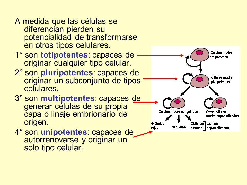 A medida que las células se diferencian pierden su potencialidad de transformarse en otros tipos celulares. 1° son totipotentes: capaces de originar c