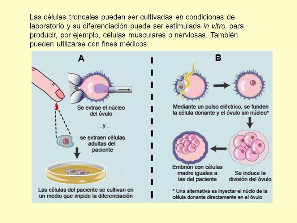 Las células troncales pueden ser cultivadas en condiciones de laboratorio y su diferenciación puede ser estimulada in vitro, para producir, por ejempl