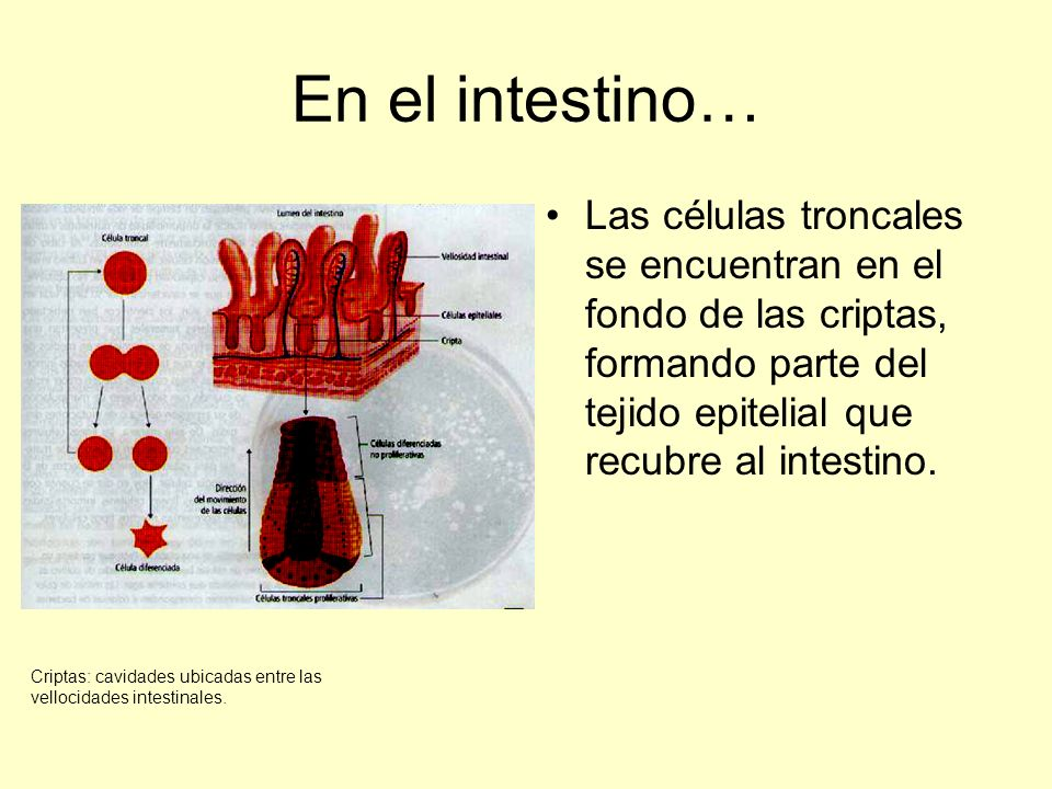 En el intestino… Las células troncales se encuentran en el fondo de las criptas, formando parte del tejido epitelial que recubre al intestino. Criptas