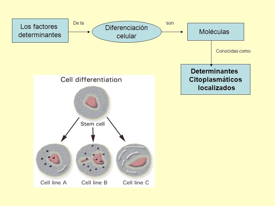 En el cigoto Los organelos y moléculas Distribuidos No homegénea Al dividirse genera Células Composición citoplasmática Con distinta Lo que contribuye a una Primera etapa En la generación de Células diferentes están En forma