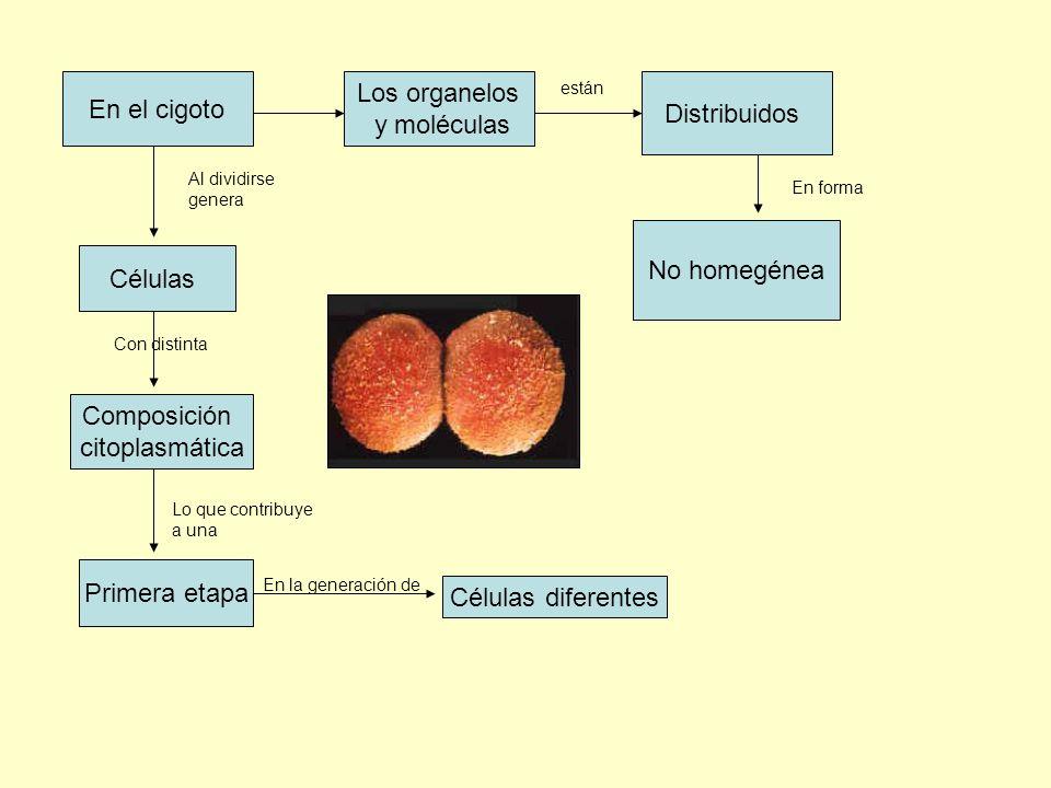 En el cigoto Los organelos y moléculas Distribuidos No homegénea Al dividirse genera Células Composición citoplasmática Con distinta Lo que contribuye
