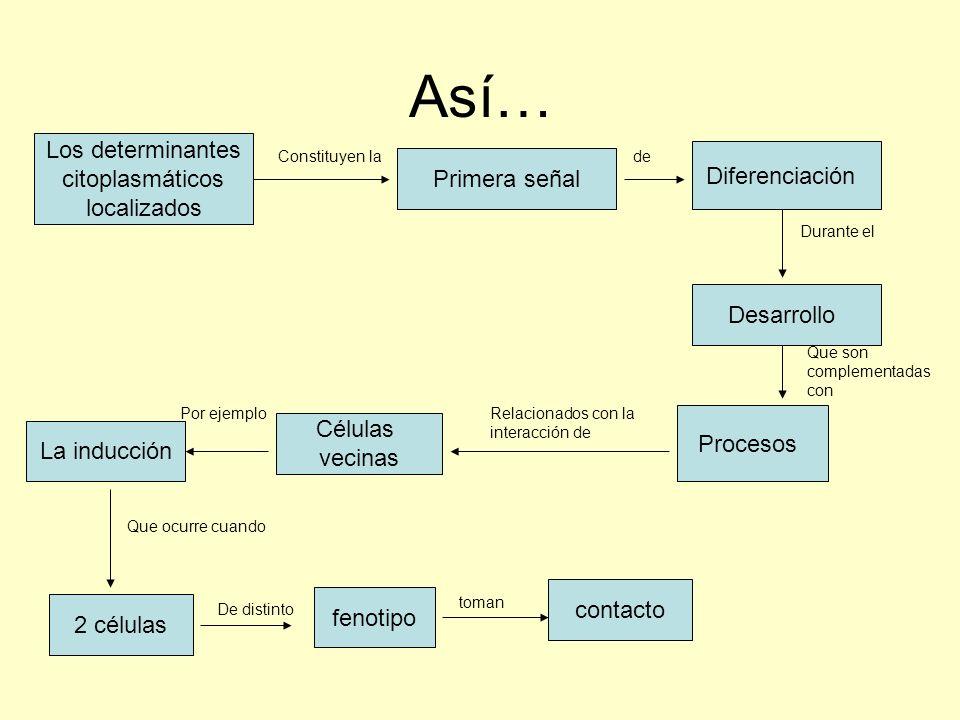 Así… Los determinantes citoplasmáticos localizados Primera señal Diferenciación Desarrollo Constituyen lade Durante el Que son complementadas con Proc