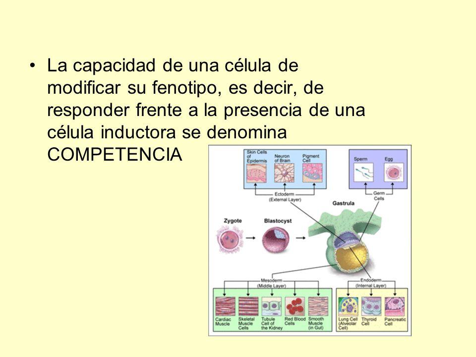 La capacidad de una célula de modificar su fenotipo, es decir, de responder frente a la presencia de una célula inductora se denomina COMPETENCIA