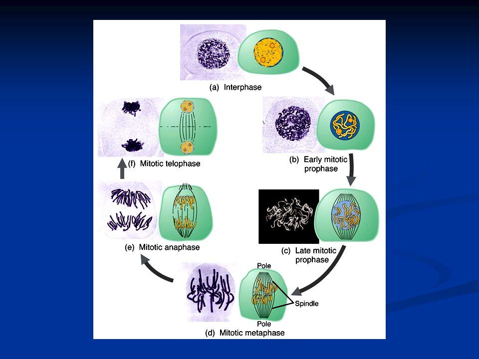 Maquinaria mitótica Las cromátidas hermanas (cromosomas duplicados) están unidas por el centrómero Las cromátidas hermanas (cromosomas duplicados) están unidas por el centrómero contienen DNA de secuencias idénticas contienen DNA de secuencias idénticas el centrómero actúa como sitio de unión para el cinetocoro, sitio al que se unen los microtúbulos el centrómero actúa como sitio de unión para el cinetocoro, sitio al que se unen los microtúbulos Huso Huso microtúbulos armados con tubulina microtúbulos armados con tubulina proteínas motor proteínas motor proporciona la fuerza para la separación de las cromátidas proporciona la fuerza para la separación de las cromátidas