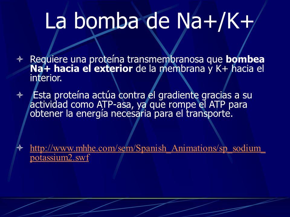 La bomba de Na+/K+ Requiere una proteína transmembranosa que bombea Na+ hacia el exterior de la membrana y K+ hacia el interior. Esta proteína actúa c