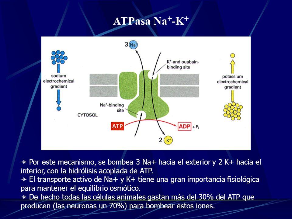 ATPasa Na + -K + Por este mecanismo, se bombea 3 Na+ hacia el exterior y 2 K+ hacia el interior, con la hidrólisis acoplada de ATP. El transporte acti