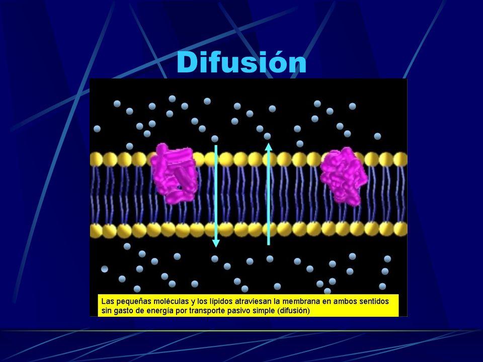 Difusión simple a través de la bicapa Las moléculas atraviesan directamente la membrana plasmática.