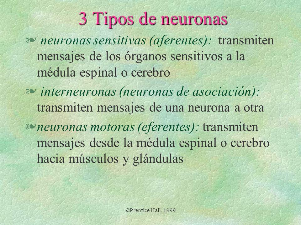 ©Prentice Hall, 1999 3 Tipos de neuronas § neuronas sensitivas (aferentes): transmiten mensajes de los órganos sensitivos a la médula espinal o cerebr