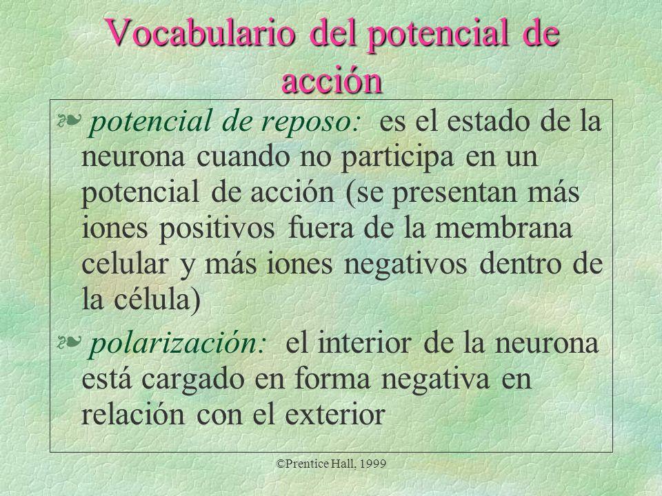 ©Prentice Hall, 1999 Vocabulario del potencial de acción § potencial de reposo: es el estado de la neurona cuando no participa en un potencial de acci