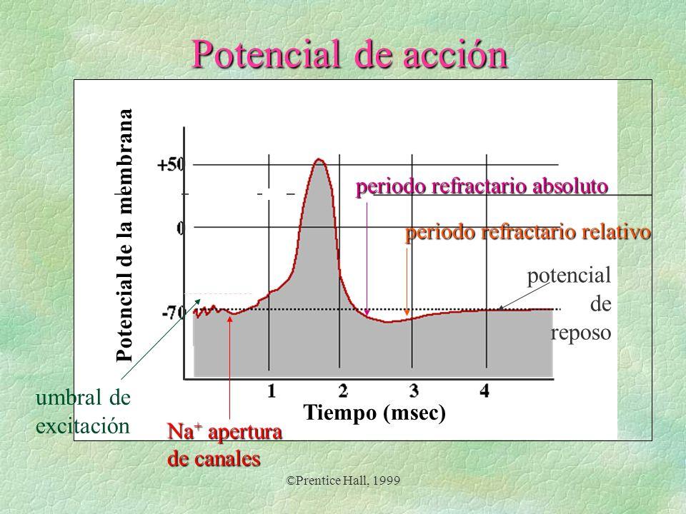 ©Prentice Hall, 1999 Potencial de acción Tiempo (msec) Potencial de la membrana umbral de excitación potencial de reposo Na + apertura de canales peri