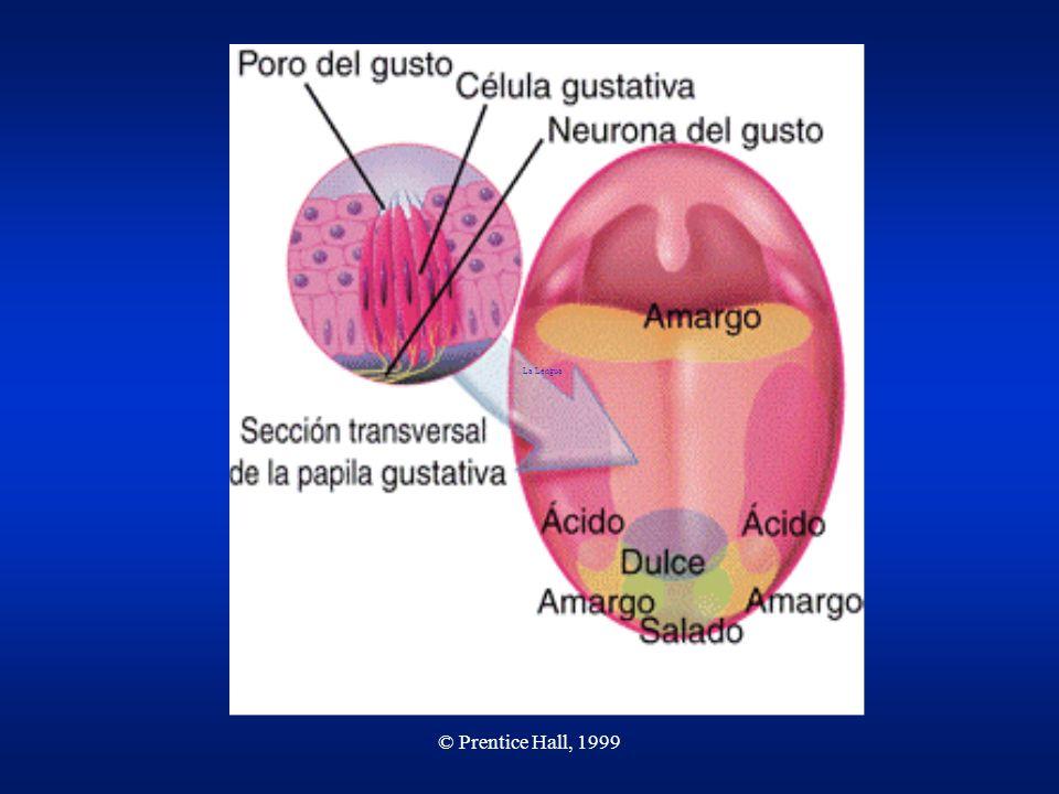 © Prentice Hall, 1999 Botones gustativos Los botones gustativos son estructuras en la lengua que contienen las células receptoras del gusto.Los botones gustativos son estructuras en la lengua que contienen las células receptoras del gusto.