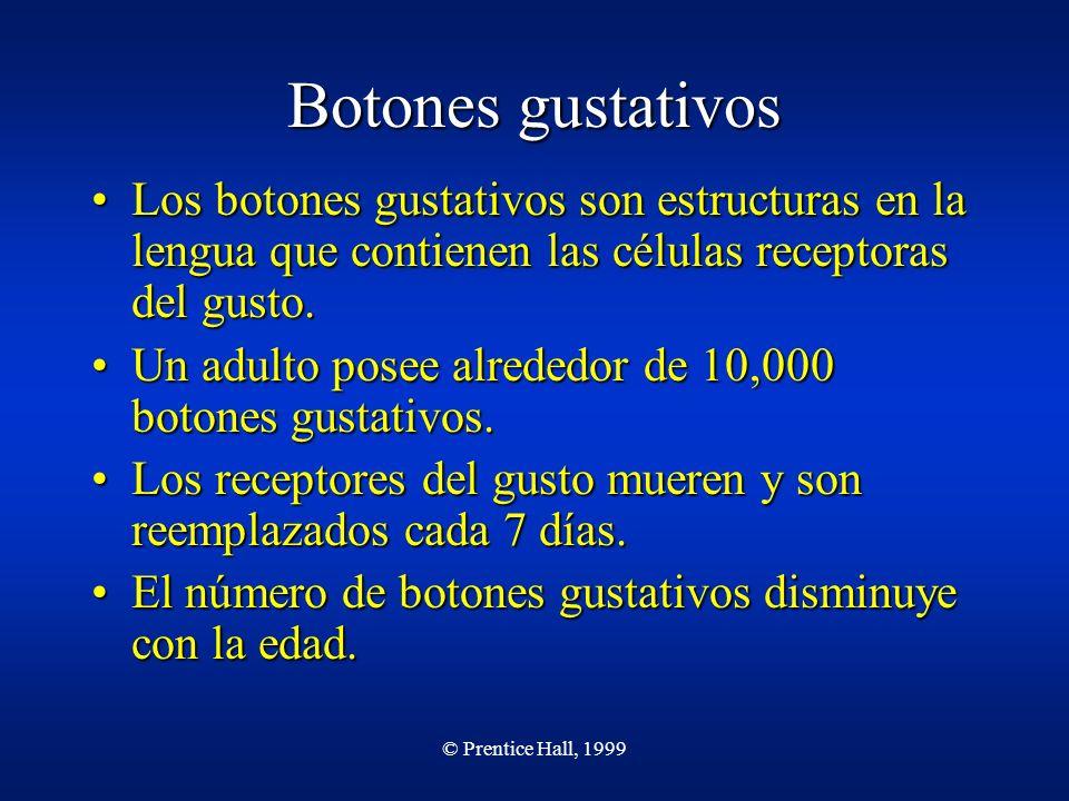 © Prentice Hall, 1999 Botones gustativos Los botones gustativos son estructuras en la lengua que contienen las células receptoras del gusto.Los botone