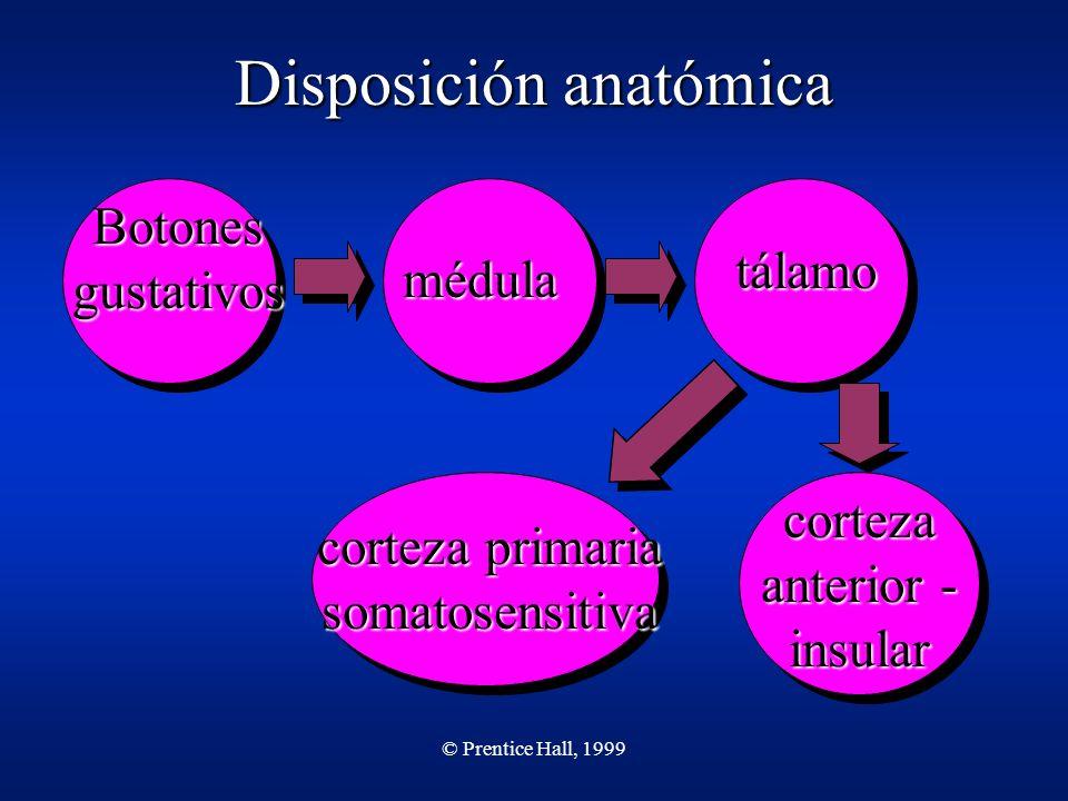 © Prentice Hall, 1999 Disposición anatómica Botones gustativos médula tálamo corteza primaria somatosensitiva corteza anterior - insular