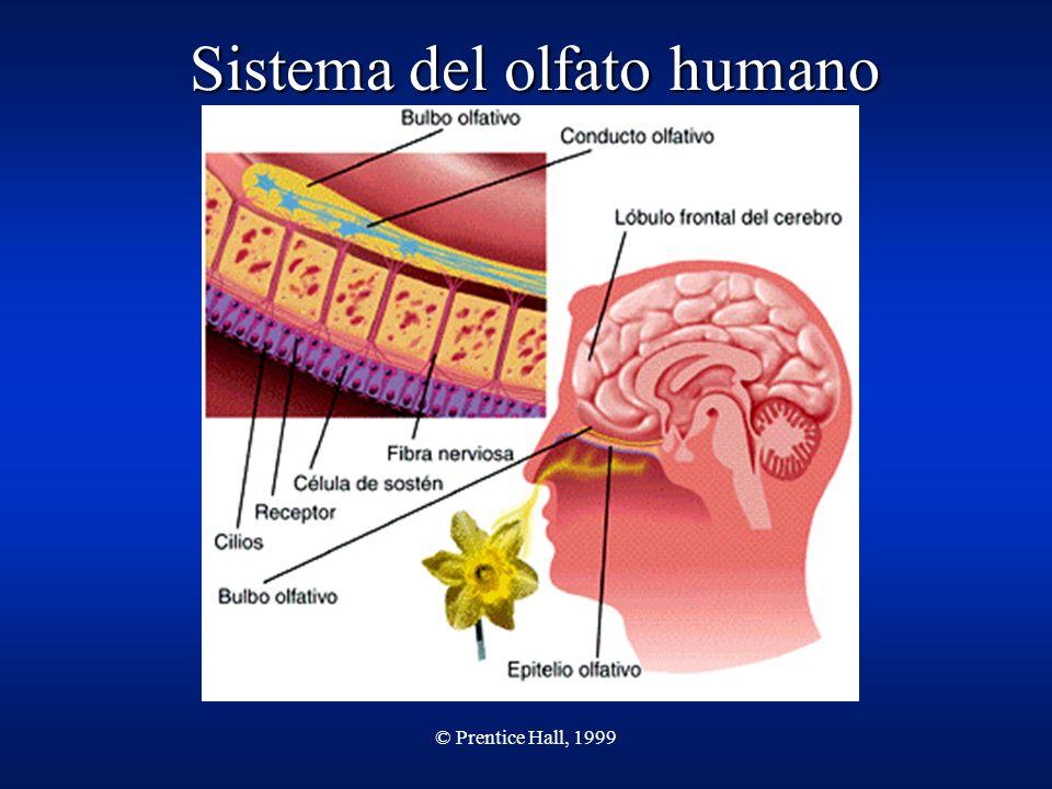 © Prentice Hall, 1999 Sistema del olfato humano