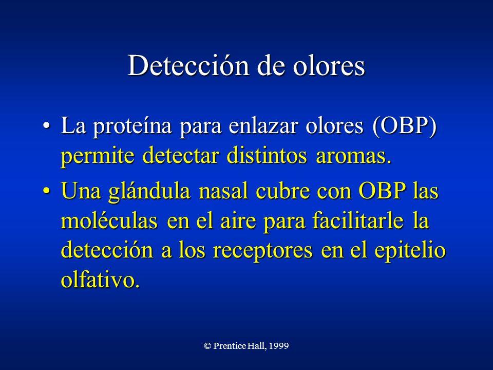 © Prentice Hall, 1999 Detección de olores La proteína para enlazar olores (OBP) permite detectar distintos aromas.La proteína para enlazar olores (OBP) permite detectar distintos aromas.