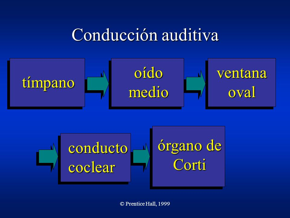 © Prentice Hall, 1999 Conducción auditiva tímpano oído medio ventana oval conducto coclear órgano de Corti