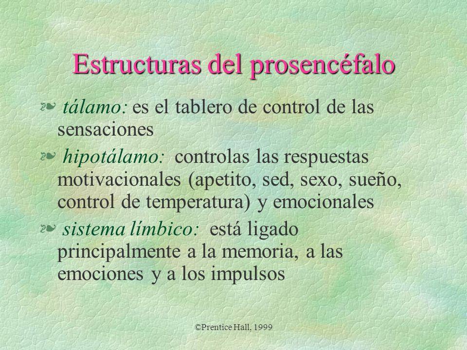 ©Prentice Hall, 1999 Estructuras del prosencéfalo § tálamo: es el tablero de control de las sensaciones § hipotálamo: controlas las respuestas motivac