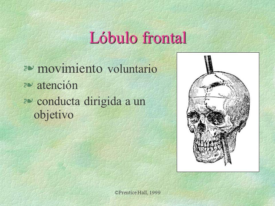 ©Prentice Hall, 1999 Lóbulo frontal § movimiento voluntario § atención § conducta dirigida a un objetivo