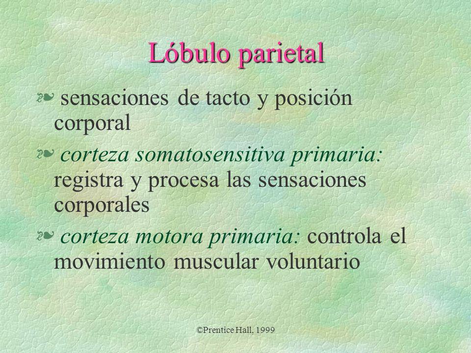©Prentice Hall, 1999 Lóbulo parietal § sensaciones de tacto y posición corporal § corteza somatosensitiva primaria: registra y procesa las sensaciones