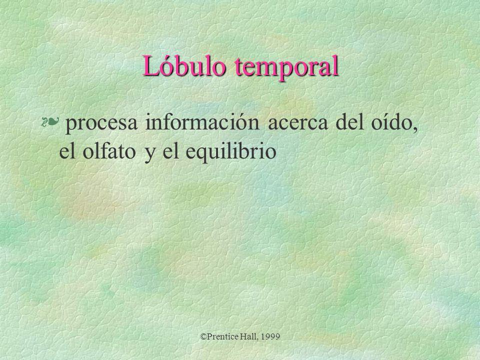 ©Prentice Hall, 1999 Lóbulo occipital § procesa información del sentido de la vista